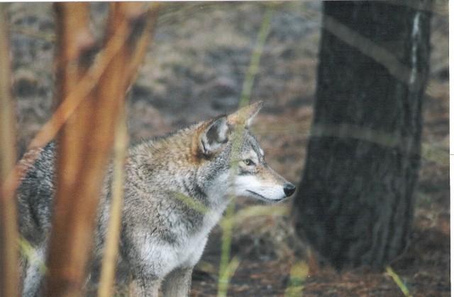 coywolf, eastern coyote3