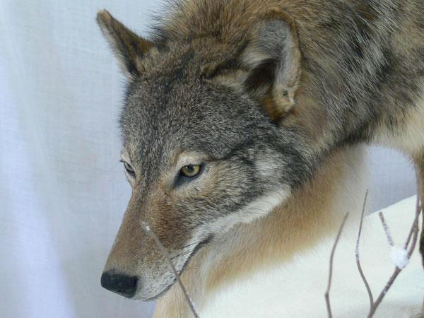 eastern wolf detail ontario museum