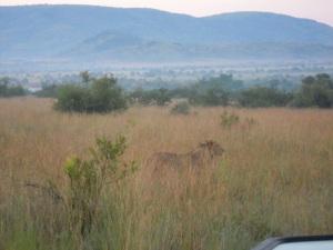 Lejon i Sydafrika, 2014. Mitt foto.