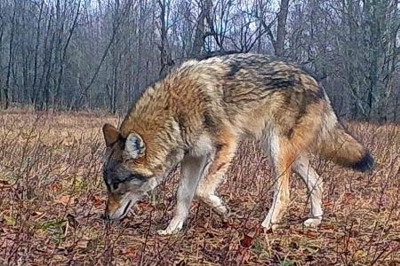 Eastern-Wolf-2-Carnarvon-ON-Dec.-25-2015-Gord-Harrison.jpg